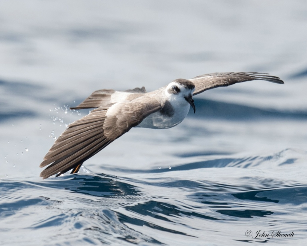 White-faced Storm-petrel - August 18th, 2016