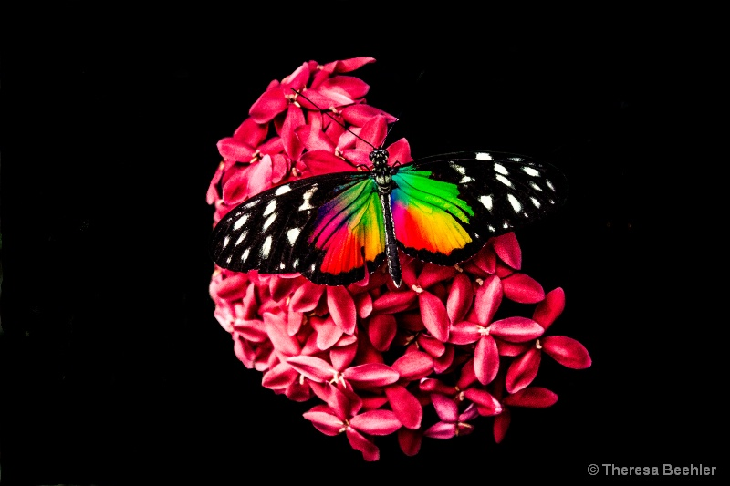 Pink Hydranga with colorful butterfly