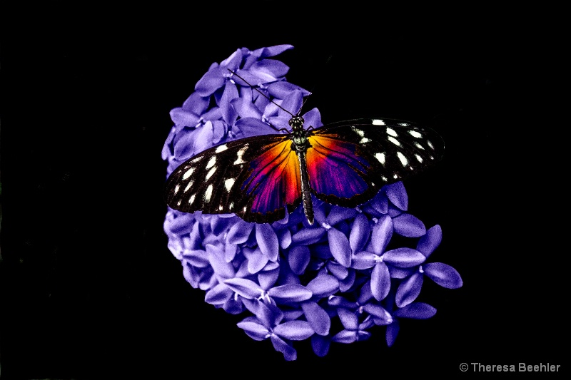 Purple Hydrangea with butterfly