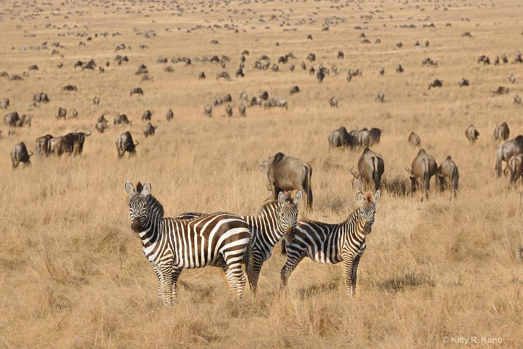 Zebra and the Wildebeest