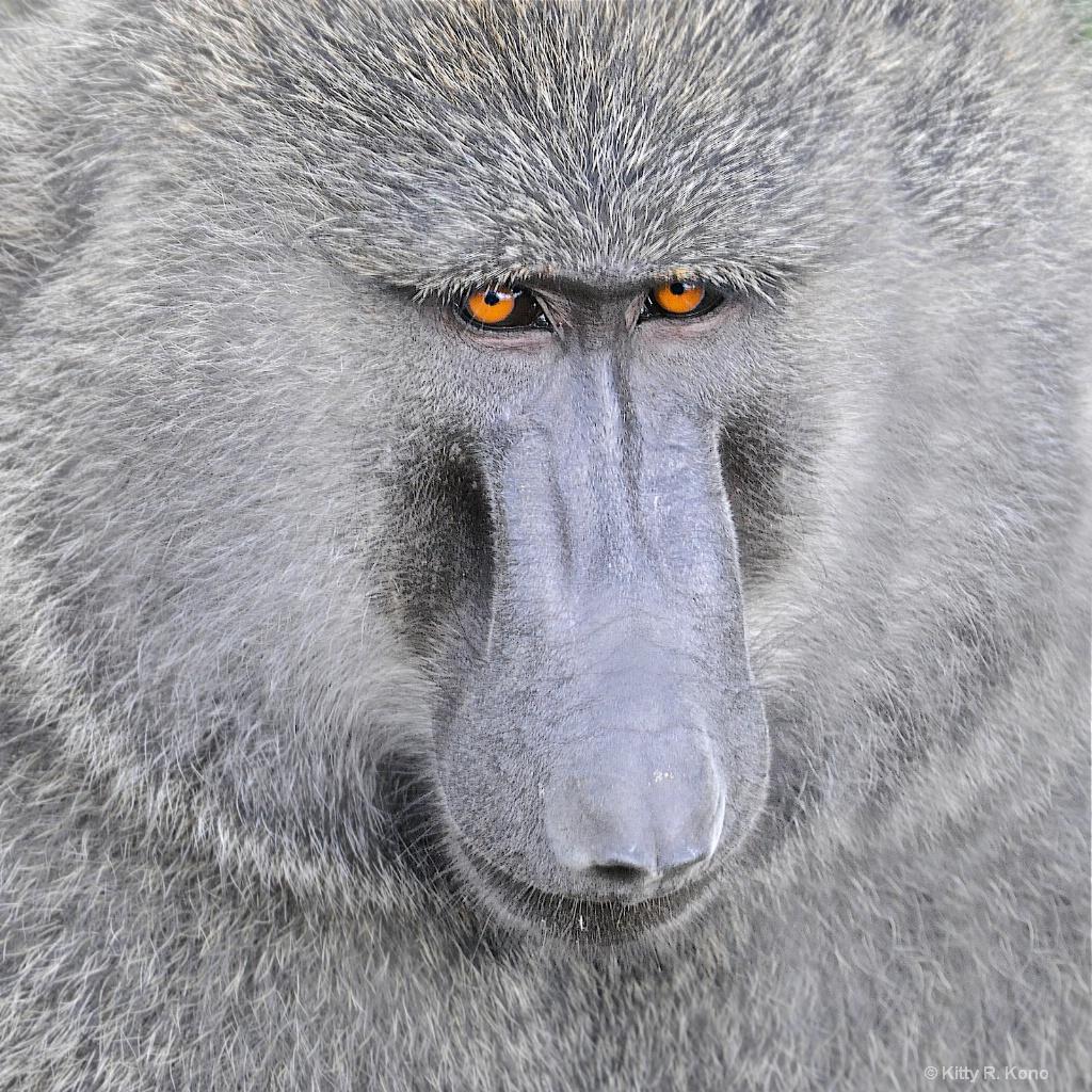 The Baboon