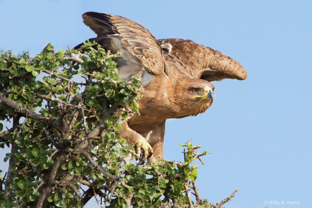 Tawny Eagle Take Off