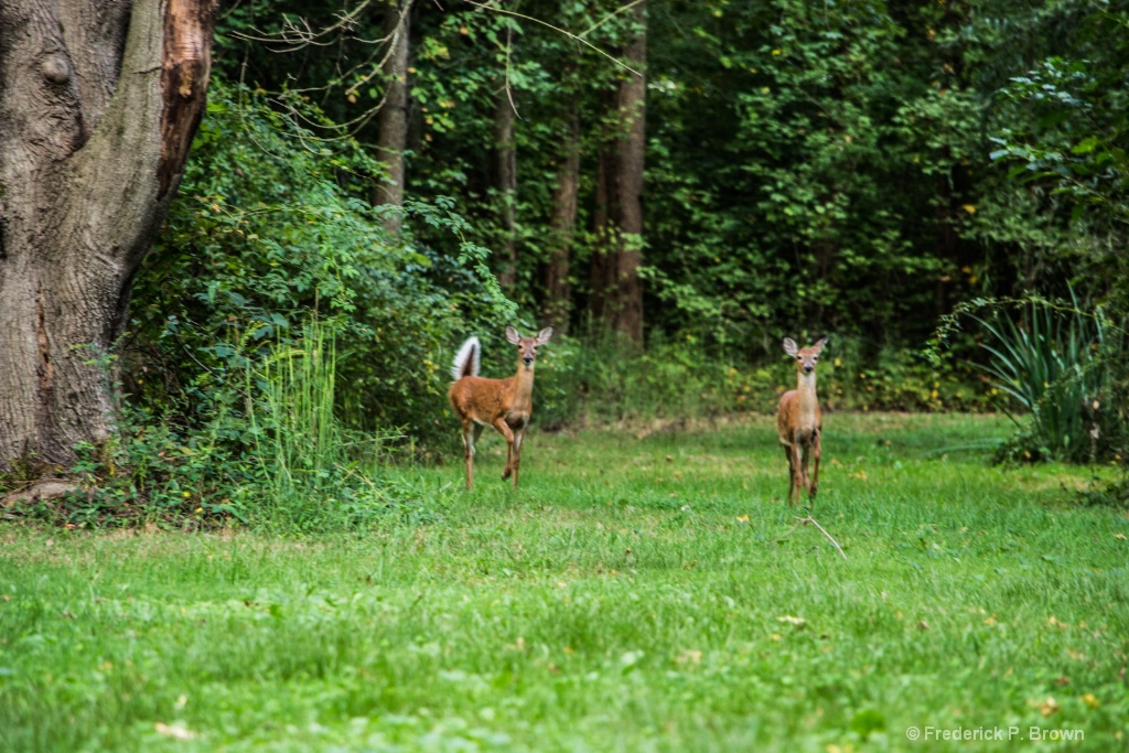 Deer coming out of woods-1-1