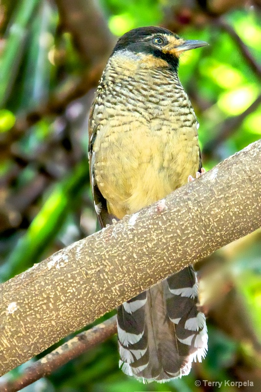 Spotted Laughing Thrush