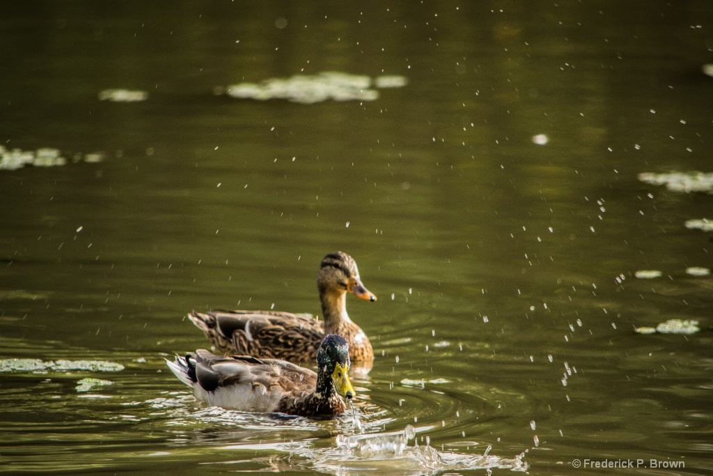 Male duck after putting his head under water-1-1