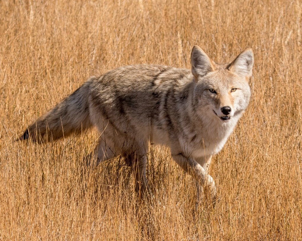 Roving Coyote