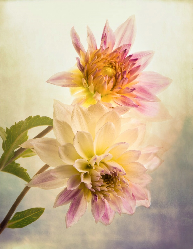 The Dahlias Keep Blooming