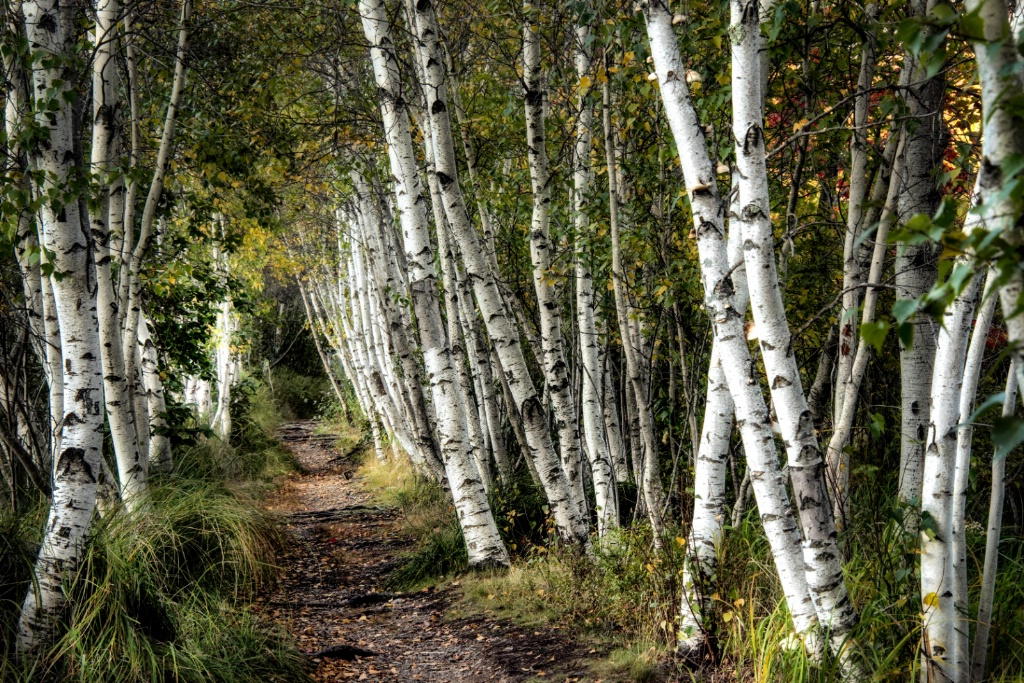A Walk Through the Birch