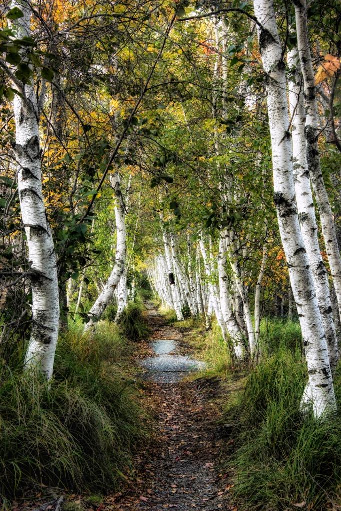 Birch Path I