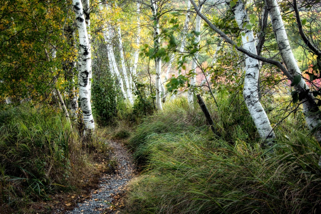 Birch and Tall Grass