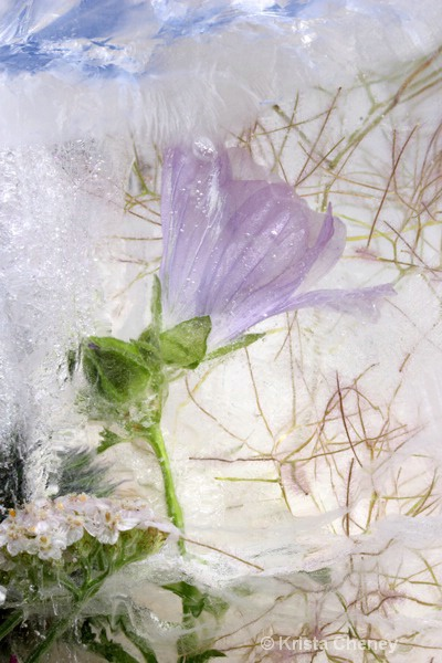 Purple balloon flower in ice