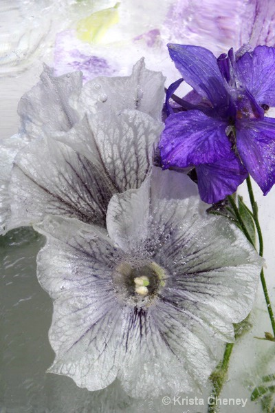 Petunias 'Latte' in ice