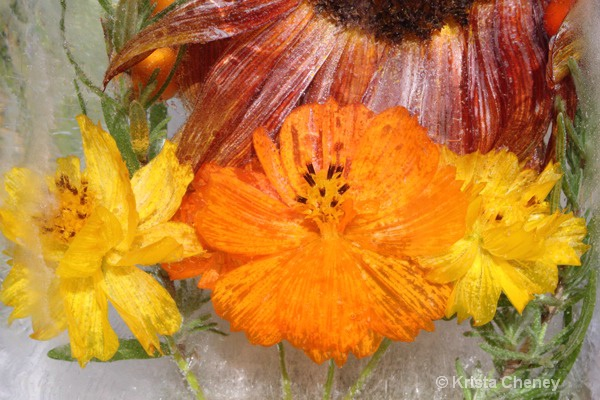 Marigolds in ice II