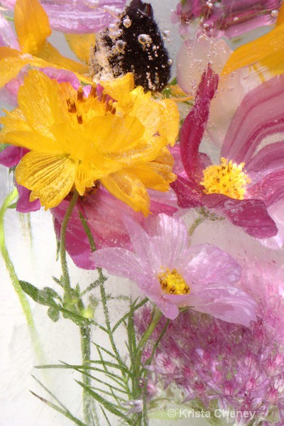 Cosmos and coreopsis in ice