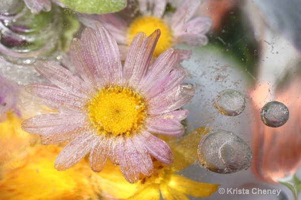 Pink daisy and bubbles in ice