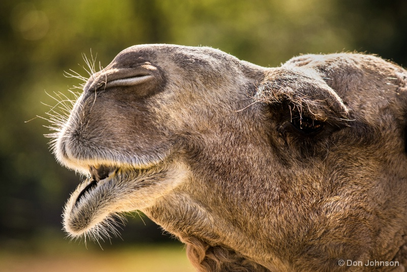 Camel Close-Up 10-22-16 725