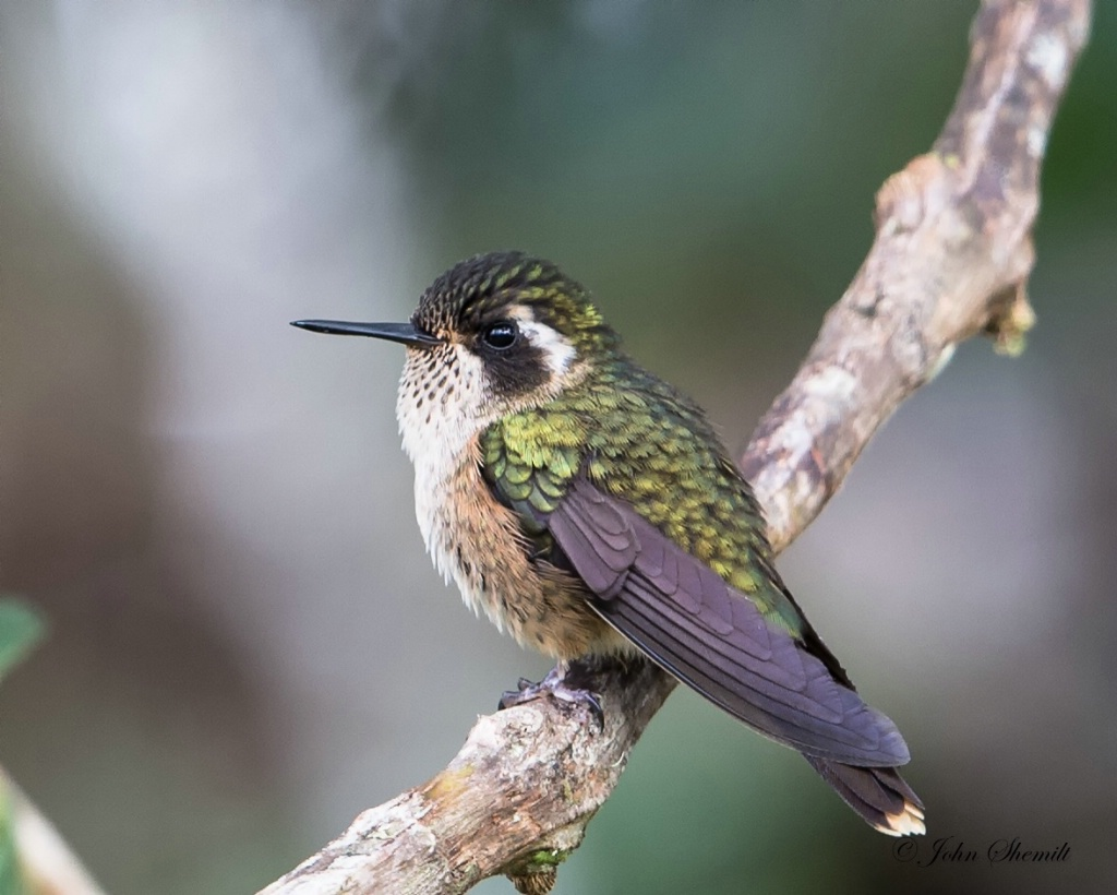 Speckled Hummingbird - Jan 25th, 2014