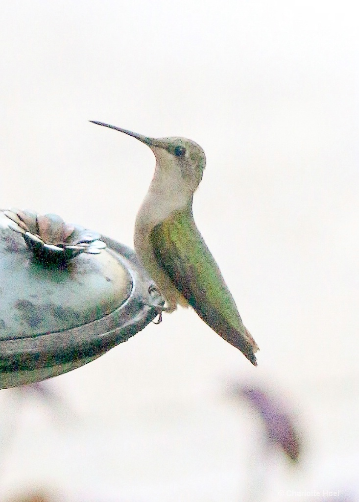 Hummingbird LR 1 of 1