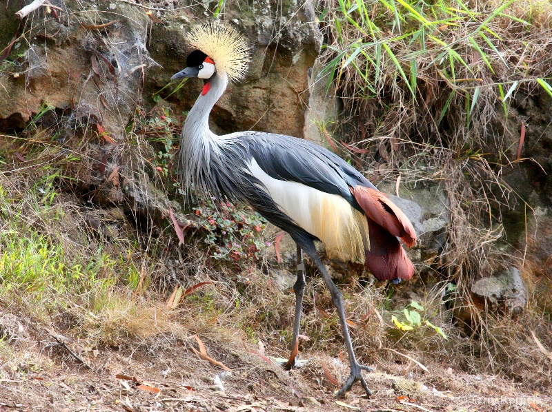 African Grey-crowned Crane