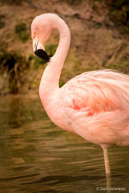 Posing Flamingo 10-22-16 626
