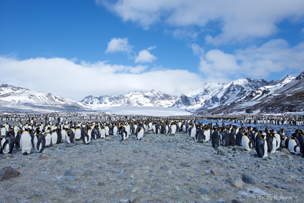 A Few King Penguins on St. Andrews Bay South Georg