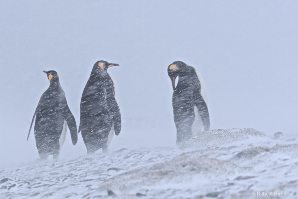King Penguins in a Snow Storm on Fortuna Bay