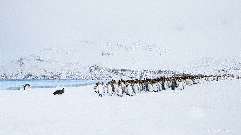 King Penguins on Right Whale Bay Just After a Snow