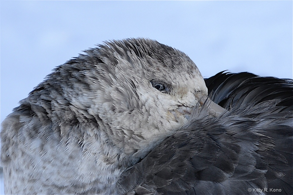 Northern Giant Petrel - Fortuna