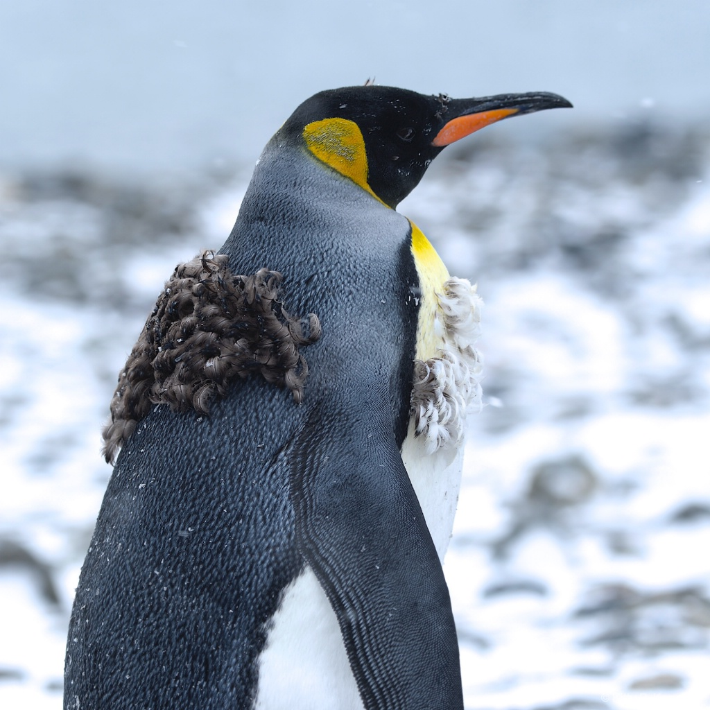 Molting Penguini Fortuna