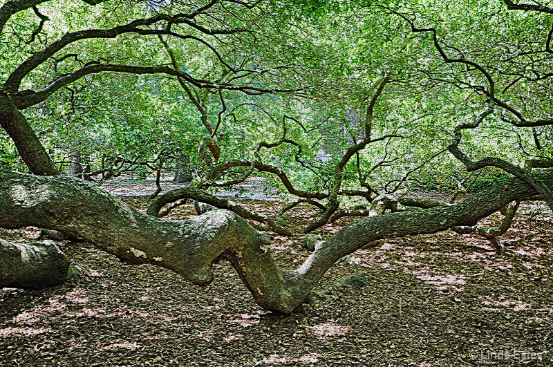 Aged Angel Oak