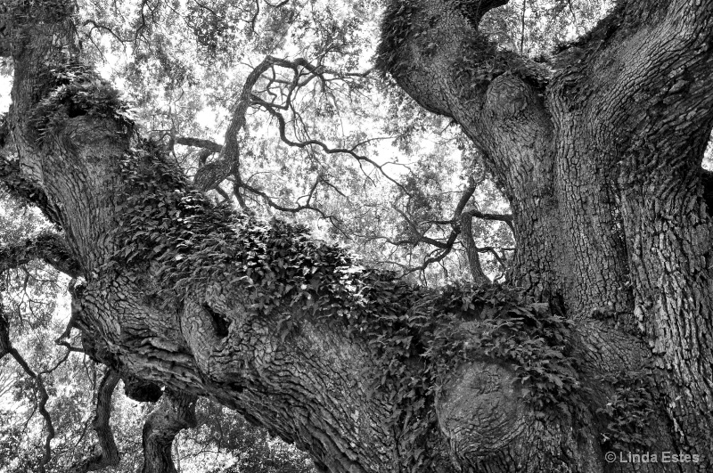 Oak and Ivy