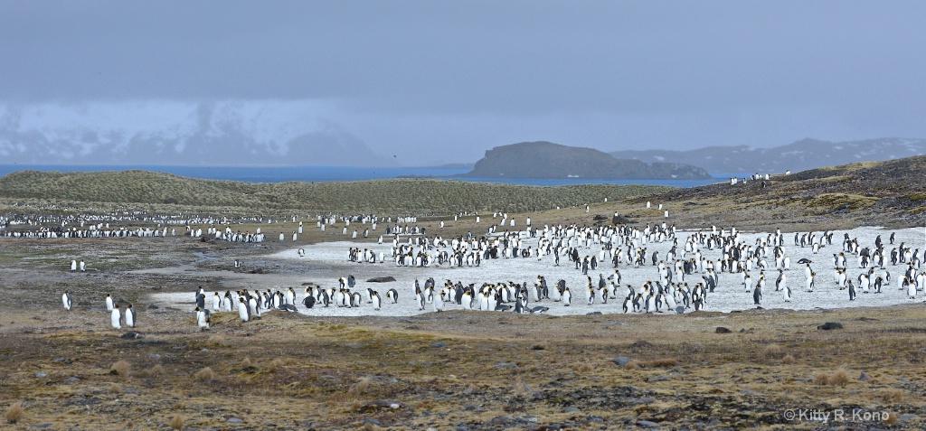 Many Penguins - Salisbury Plain 1