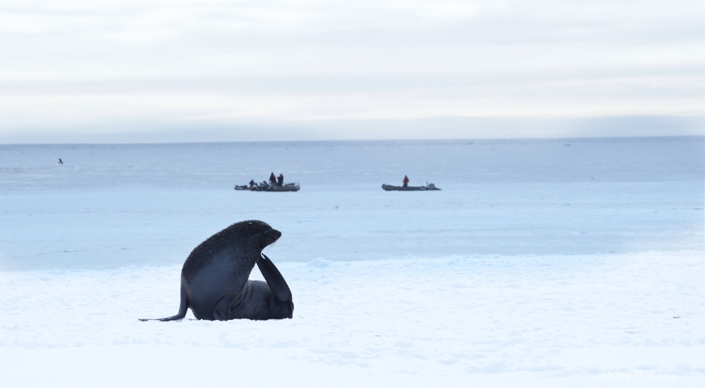 Fur Seal and Zodiaks