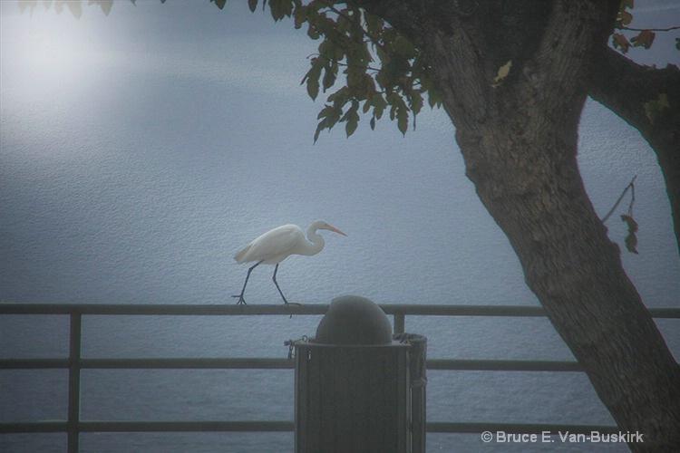 Egret walking on a pole