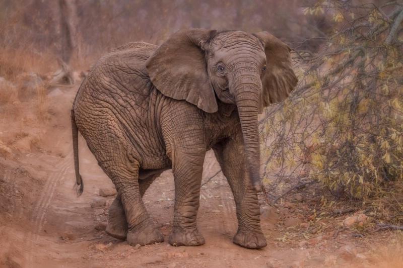 Baby Elephant  1755