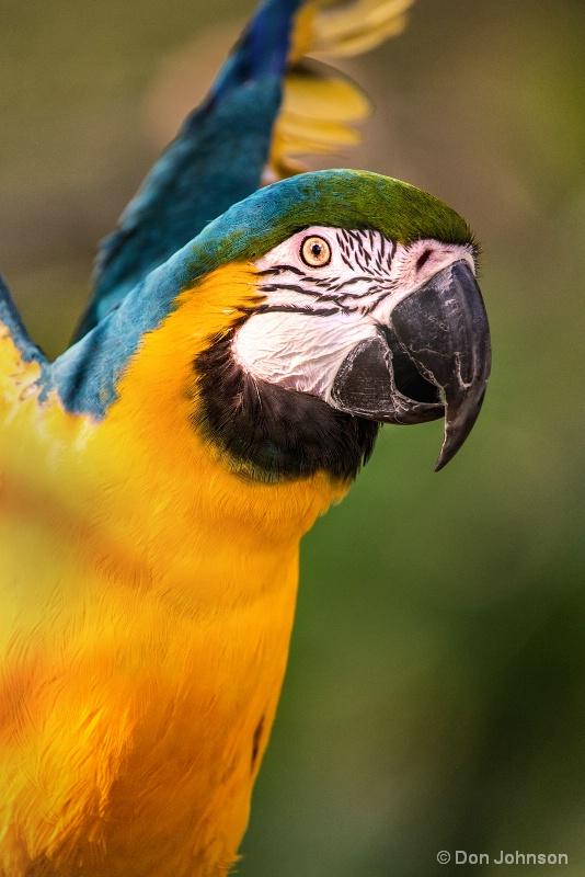 Macaw Flap 10-22-16 752