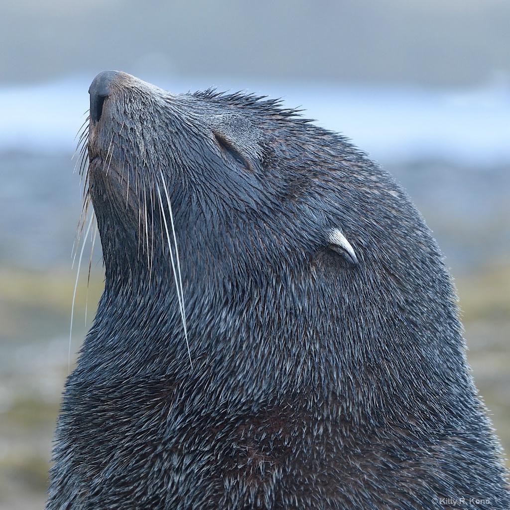 Snooty Antarctic Fur Seal