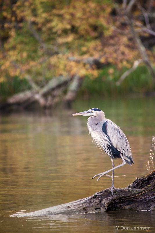 Great Blue Heron 10-22-16 186