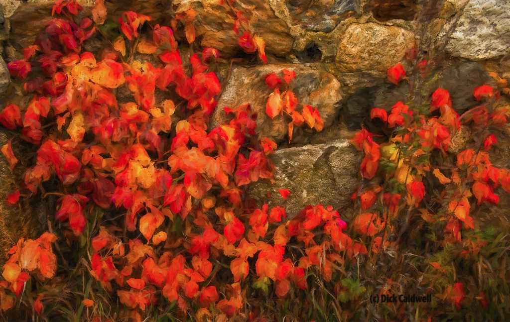 Red leaves on the wall.Image:Dick Caldwell
