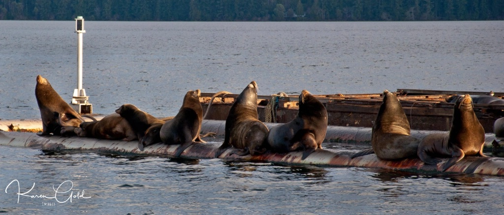 Sea Lions at Union Bay