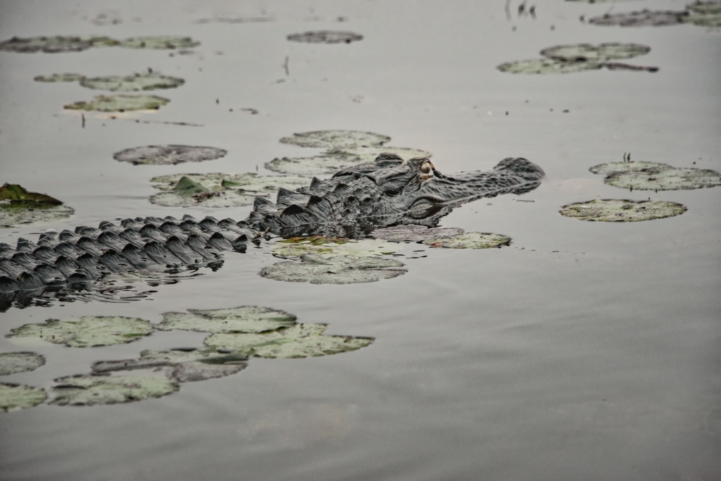 Silent gliding gator. Okefenokee NWR, Georgia