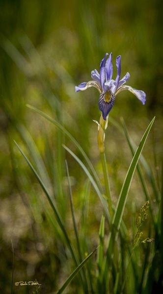 Wild Mountain Iris