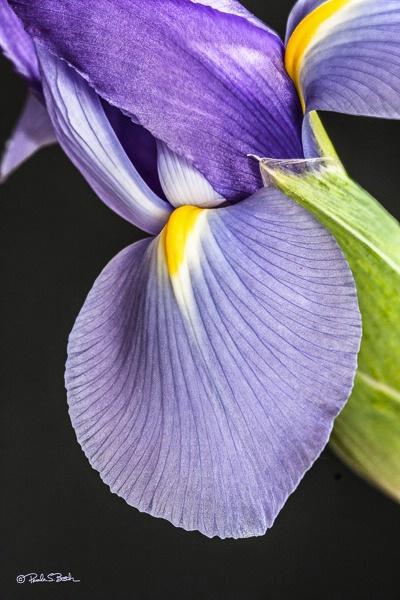 Iris Blooming 2