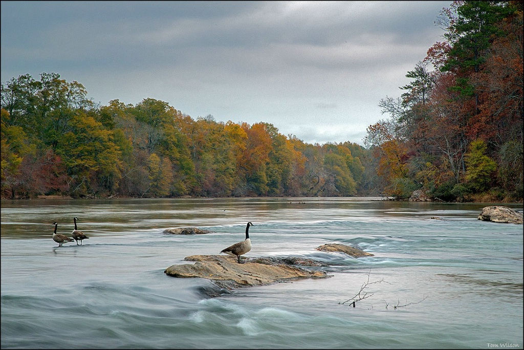 Geese on Chattahoochee River in Fall