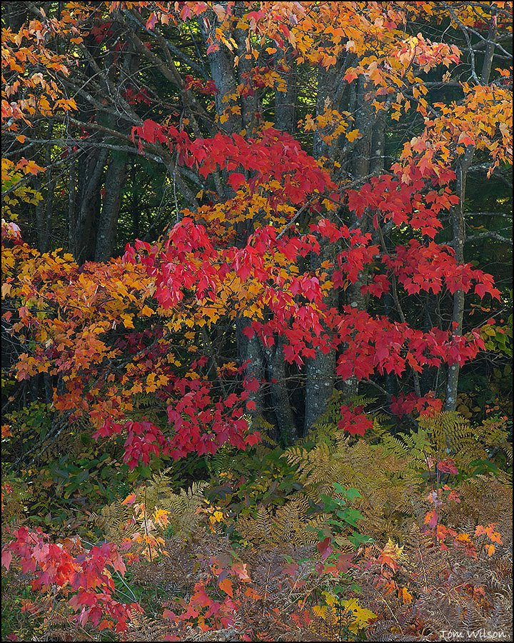 Fall Ferns and Maple near Baxter State Park