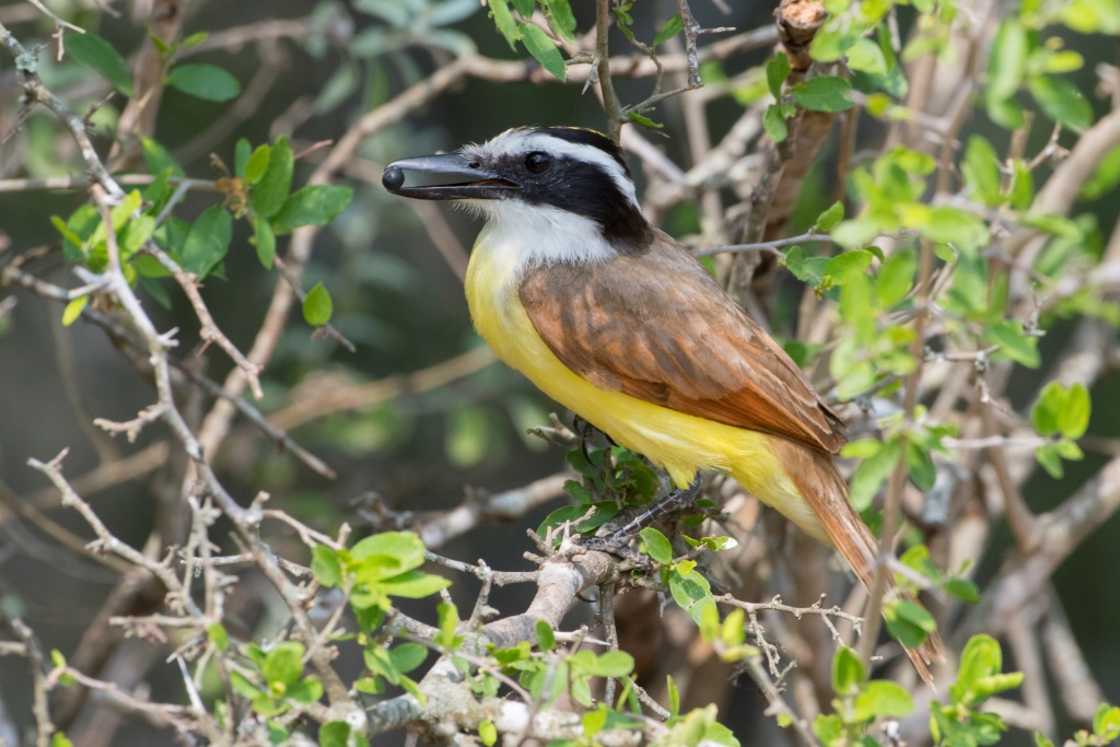 Great Kiskadee with Berry