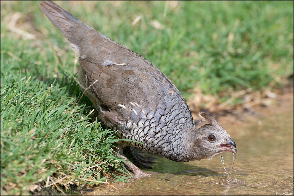 Scaled Quail Drinking