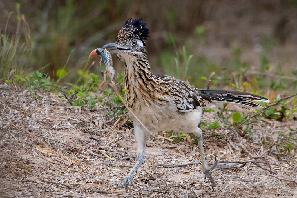 Roadrunner running with Dinner
