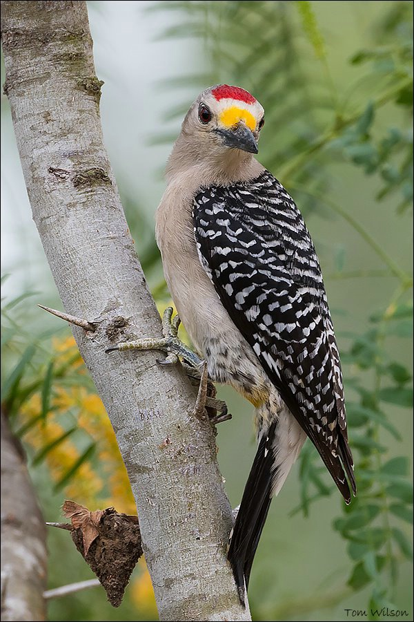 Male Golden-fronted Woodpecker