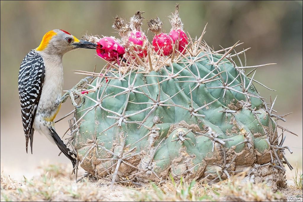 Golden-fronted Woodpecker Eating Cactus Fruit